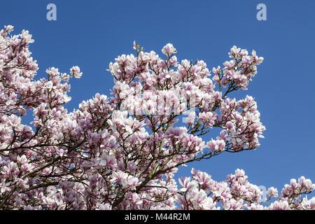 Magnolia tree in spring, Lower Saxony, Germany - Stock Photo