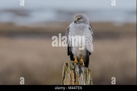 Northern Harrier in the Rain - Stock Photo