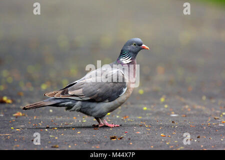 Single Rock Pigeon or Rock Dove bird on a ground during a spring nesting period - Stock Photo