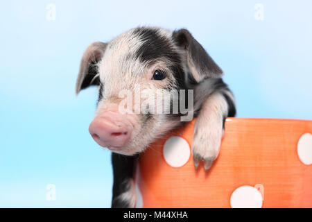 Domestic Pig, Turopolje x ?. Piglet (1 week old) in a big orange cup with polka dots. Studio picture seen against - Stock Photo