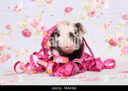 Domestic Pig, Turopolje x ?. Piglet (1 week old) with paper streamers, sitting. Studio picture against a blue background - Stock Photo