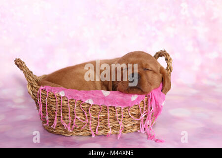 Labrador Retriever. Puppy (6 weeks old) sleeping in a basket. Studio picture seen against a pink background. Germany - Stock Photo