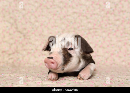 Domestic Pig, Turopolje x ?. Piglet (4 weeks old) lying on a blanket with flower print. Studio picture. Germany - Stock Photo