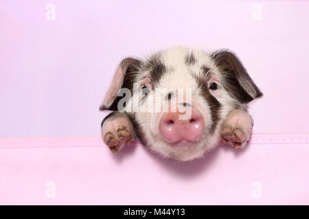 Domestic Pig, Turopolje x ?. Piglet (4 weeks old) lying. Studio picture seen against a pink background. Germany - Stock Photo