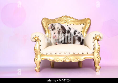 Domestic Pig, Turopolje x ?. Piglet (4 weeks old) sitting on an antique armchair. Studio picture seen against a - Stock Photo