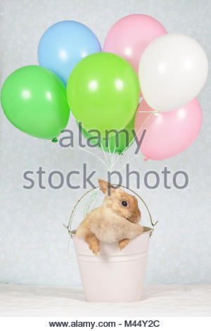 Netherland Dwarf Rabbit. Adult female (6 years old) sitting in a bucket with attached balloons. Studio picture seen - Stock Photo