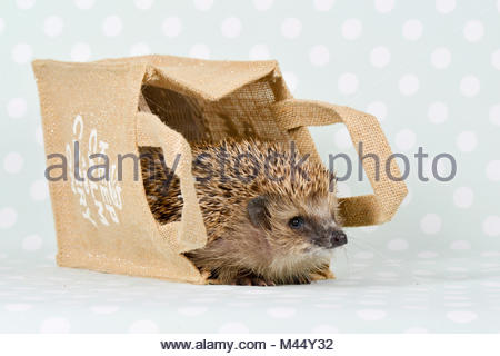 European Hedgehog (Erinaceus europaeus). Adult in a paper carrier. Studio picture, seen against a green background - Stock Photo