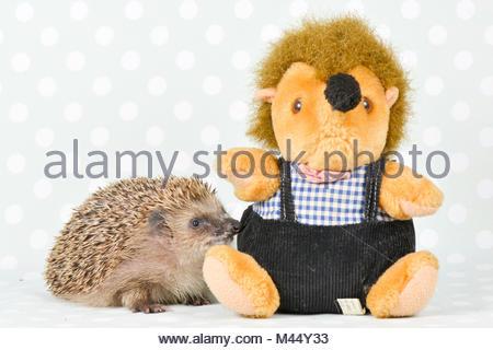 European Hedgehog (Erinaceus europaeus). Adult investigating a plush hedgehog. Studio picture, seen against a green - Stock Photo