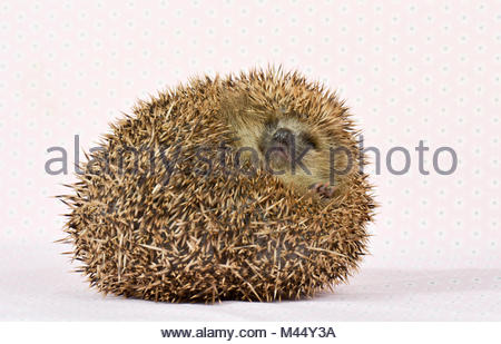 European Hedgehog (Erinaceus europaeus). Adult rolled into a tight ball. Studio picture, seen against a pink background. - Stock Photo
