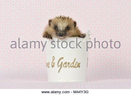 European Hedgehog (Erinaceus europaeus). Young (4 weeks old) in a bucket. Studio picture, seen against a pink background. - Stock Photo