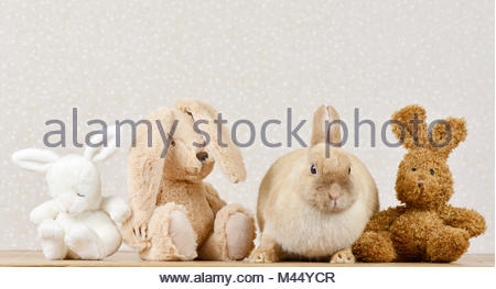 Dwarf Lop-eared Rabbit. Adult female (3 years old) next to three plush hares. Studio picture. Germany - Stock Photo