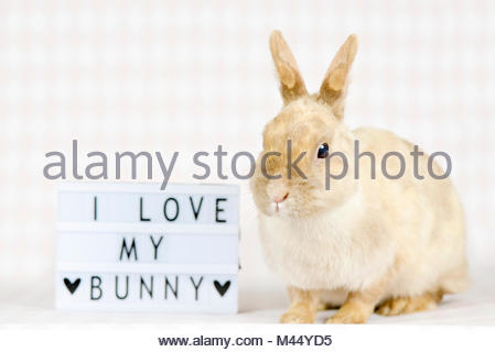 Netherland Dwarf Rabbit. Adult female (6 years old) next to a board with the writing I love my bunny. Studio picture. - Stock Photo
