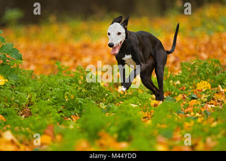 English Whippet. Black adult with white face running in leaf litter. Netherlands - Stock Photo