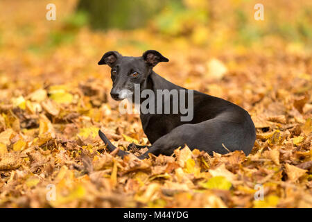 English Whippet. Black adult with a few grey hairs, lying in leaf litter. Netherlands - Stock Photo