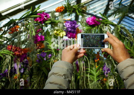 London / UK - February 11th 2018: A person uses a smartphone to photograph an arch of colourful orchids in a greenhouse - Stock Photo