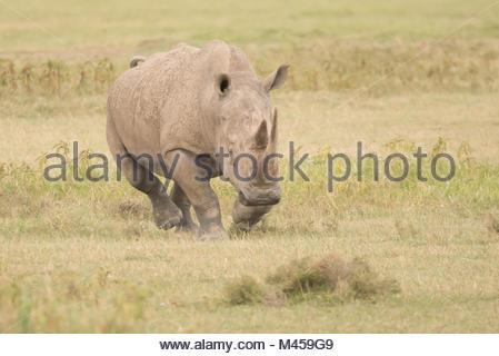 Rhinoceros charging with head down over savannah - Stock Photo