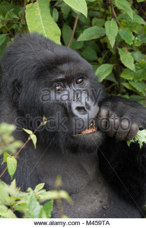 Close-up of silverback gnawing branch in forest - Stock Photo