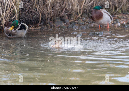 Female mallard (Anas platyrhynchos) splashing in water with two drakes in the background. - Stock Photo