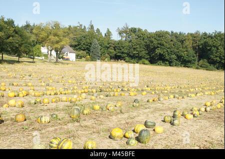 Cucurbita pepo ssp styriaca, Seed oil pumpkin - Stock Photo