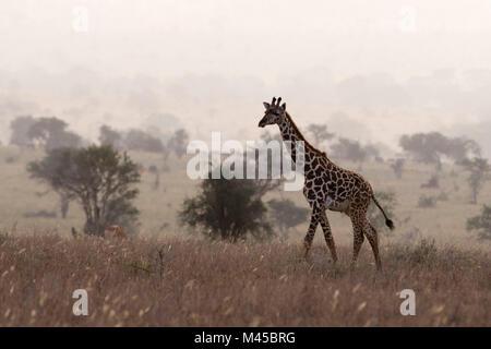 Maasai giraffe (Giraffa camelopardalis tippelskirchi), walking in the mist, Tsavo, Kenya, Africa - Stock Photo
