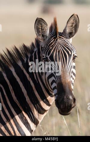 Portrait of Common zebra (Equus quagga) Tsavo, Kenya, Africa - Stock Photo
