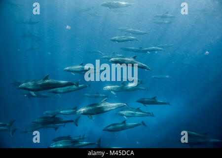Large group of bottlenose dolphins, Seymour, Galapagos, Ecuador, South America - Stock Photo