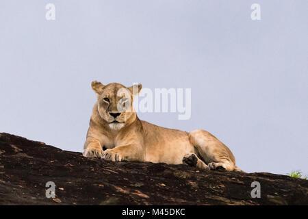 Lioness (Panthera leo) resting on a Kopje known as Lion Rock in Lualenyi reserve, Tsavo, Kenya - Stock Photo