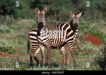 Portrait of two common zebras (Equus quagga) in green savannah, Tsavo, Kenya - Stock Photo