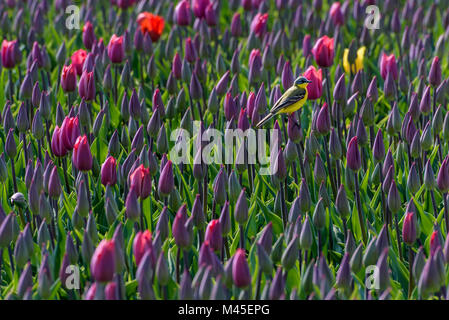 A yellow wagtail is sitting on a purple tulip in a field full of  tulips at Goeree-Overflakkee in Holland. It is - Stock Photo