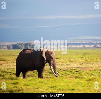 Elephant on savanna. Safari in Amboseli, Kenya, Africa - Stock Photo