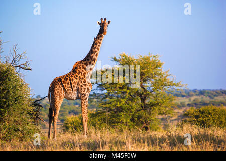 Giraffe on savanna. Safari in Serengeti, Tanzania, Africa - Stock Photo