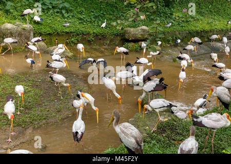 Yellow billed stork looking for food in the river - Stock Photo