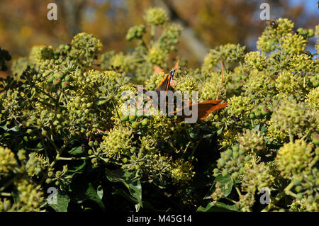 Hedera helix, Ivy, flowering with butterfly (Red Admiral) - Stock Photo