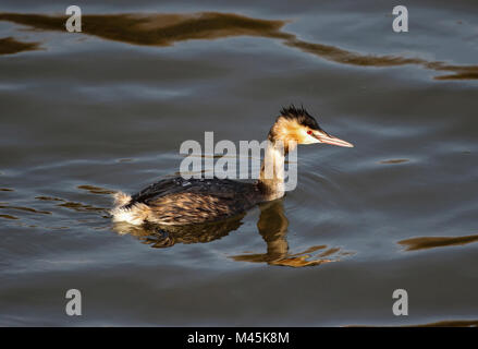 Great Crested Grebe (Podiceps cristatus) - Stock Photo