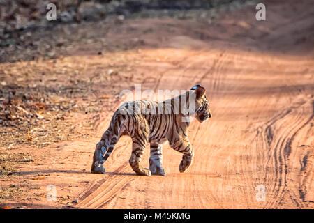 Cute little wild Bengal Tiger Cub, Panthera tigris tigris, crossing a road, Bandhavgarh Tiger Reserve, Madhya Pradesh, - Stock Photo