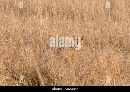 Young wild Chital or Spotted Deer fawn, Axis axis, hiding in dry grass in Bandhavgarh National Park, Madhya Pradesh, - Stock Photo