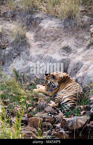 Two year old wild male Bengal tiger sleeping in Bandhavgarh Tiger Reserve, Madhya Pradesh, India - Stock Photo