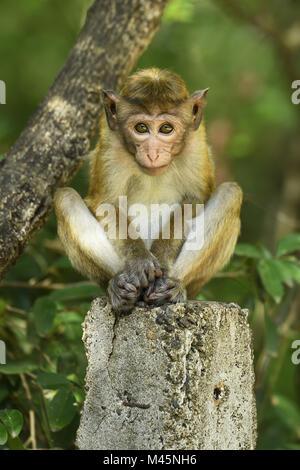 Toque macaque (Macaca sinica),young animal sitting on pillar,Yala National Park,Sri Lanka - Stock Photo