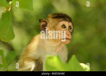 Toque macaque (Macaca sinica),young animal sitting in a tree,animal portrait,Yala National Park,Sri Lanka - Stock Photo