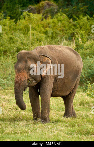 Sri Lankan elephant (Elephas maximus maximus) grazing,Minneriya National Park,Northern Central Province,Sri Lanka - Stock Photo