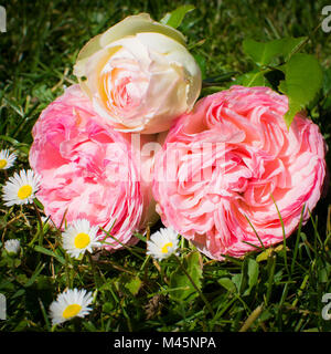 pink roses with daisy in front - Stock Photo