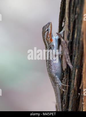 Ornate tree lizard - Stock Photo