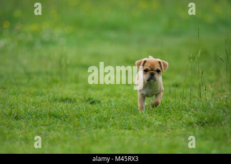 cute little pug puppy on a soft green background - Stock Photo