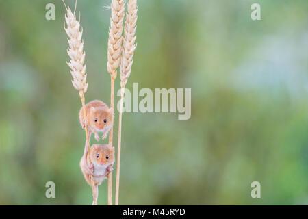 Cute little harvest  mice on corn - Stock Photo