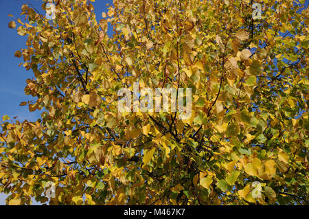 Tilia platyphyllos, Large-leaved lime, autumn leaves - Stock Photo