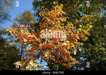 Sorbus torminalis, Wild service tree, autumn leaves - Stock Photo