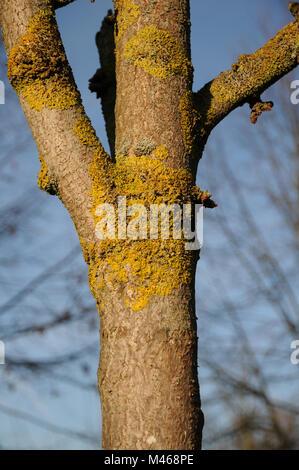 Xanthoria parietina, Common orange lichen, on Ginkgo tree - Stock Photo