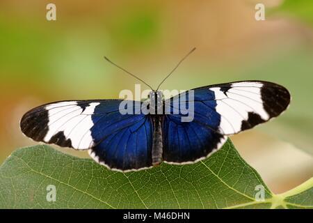 heliconius sapho - Stock Photo