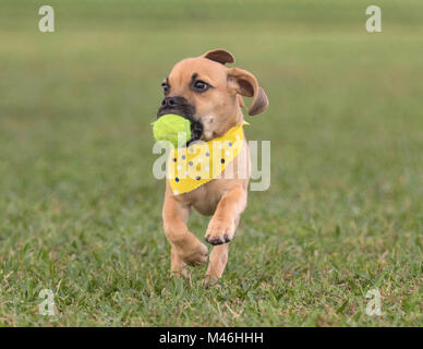Adorable puppy runing on grass toward camera with ball in mouth - Stock Photo