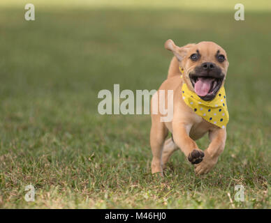 Adorable puppy running on grass toward camera wearing polka dot bandana - Stock Photo